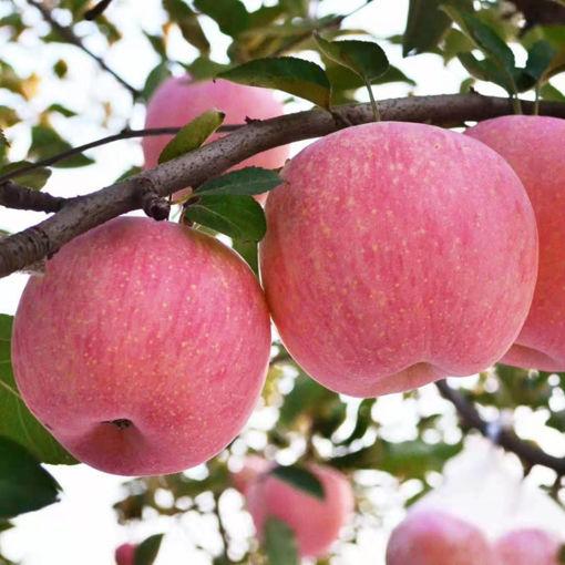 圖片 高原蘋果 果徑75mm-85mm 5kg/箱/28枚